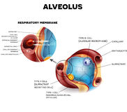Alveoli anatomy, respiration. Alveolus anatomy and Respiratory membrane of alveolus, oxygen and carbon dioxide exchange between alveoli and capillaries, external Stock Photo