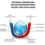 Alveoli anatomy, respiration Royalty Free Stock Image
