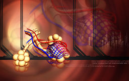 Alveoli Stock Images