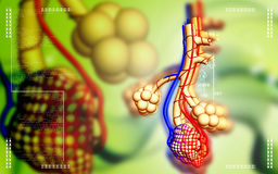 Alveoli Royalty Free Stock Photo