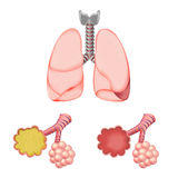 Alveoli In And Lungs Stock Images