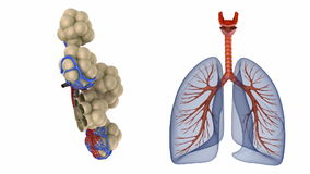 Alveoli in lungs - blood saturating by oxygen