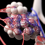 The alveoli Royalty Free Stock Photos
