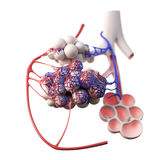 the alveoli Stock Images