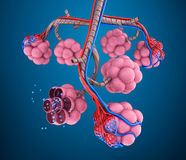Alveoli : natomy of human respiratory system - blood saturating by oxygen Stock Photos