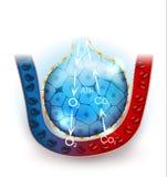 Alveoli oddychanie Zdjęcia Stock