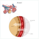 Alveoli vector illustration Stock Image