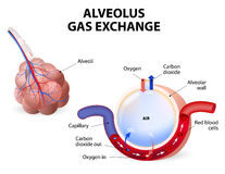 Alveolus. gas exchange Stock Photography