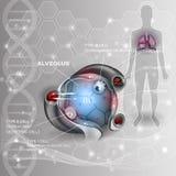 Alveolus Stock Photography