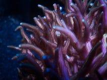 Alveopora珊瑚 图库摄影