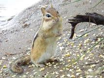 Alvin de Aardeekhoorn Royalty-vrije Stock Foto's