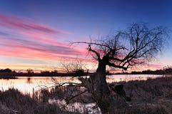 Alvoreça com nuvens cor-de-rosa sobre uma lagoa selvagem com a árvore de grito só na manhã do outono Fotografia de Stock