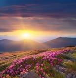 Alvoreça nas montanhas das flores do rododendro Fotografia de Stock