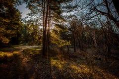 Alvorecer em uma floresta do pinho foto de stock