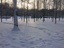 Alvorecer na floresta do inverno imagem de stock