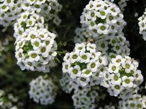 Alyssum. Flowers in the garden Stock Image