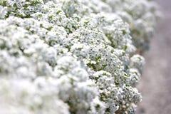 Alyssum Стоковые Изображения RF