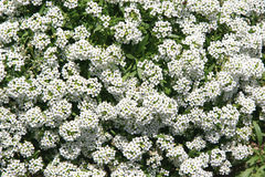 Alyssum Stockfotos