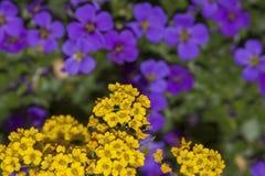 Alyssum amarelo de florescência e para borrar o aubrieta roxo imagens de stock royalty free