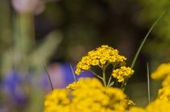 Alyssum amarelo de floresc?ncia e para borrar o aubrieta roxo fotografia de stock royalty free