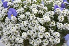 An Alyssum Big Gem White Brilliant with blue violet as a decoration of garden. Alyssum Big Gem White Brilliant with blue violet as a decoration of garden Royalty Free Stock Image