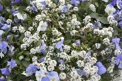An Alyssum Big Gem White Brilliant with blue violet as a decoration of garden. Alyssum Big Gem White Brilliant with blue violet as a decoration of garden Stock Photos
