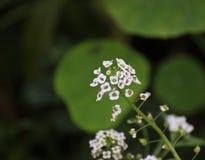 Alyssum-Blüten Stockfotografie