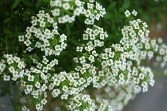 Alyssum blanc Images stock