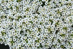 Alyssum blanco Fotografía de archivo libre de regalías