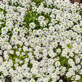 Alyssum do jardim Foto de Stock Royalty Free