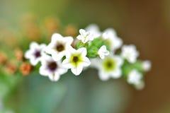 Alyssum dolce crescente i fiori diventeranno così dolci e così bei Fotografia Stock