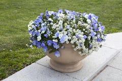 Alyssum Dużego klejnotu Biały brylant z błękitnym fiołkiem jako dekoracja ogród Zdjęcie Stock