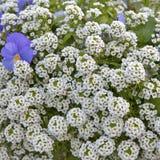 Alyssum Dużego klejnotu Biały brylant z błękitnym fiołkiem jako dekoracja ogród Zdjęcia Stock