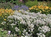 Alyssum, flowerbed Стоковое фото RF