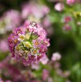 Alyssum inflorescence Stock Images
