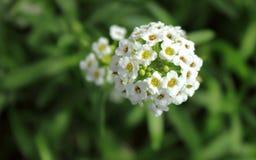 Alyssum kwiat obraz royalty free