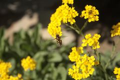Bee flying around vibrant yellow petals of Canola flowers in the yearly sping days. stock image
