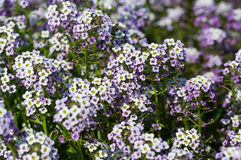Alyssum silver stream flowers Stock Image