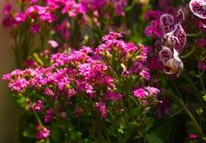 Alyssum ฺSweet (maritima Lobularia). стоковые изображения