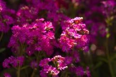 Alyssum ฺSweet (maritima Lobularia). стоковое фото