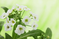 Alyssum Tourn Royalty Free Stock Photos