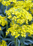 Yellow Alyssum flowers Stock Images