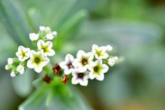 Alyssumväxter i vit färg som har 5 pedaler varje Royaltyfri Fotografi