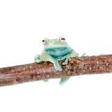 Alytolyla treefrog på vit Arkivfoton