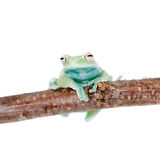 Alytolyla treefrog on white Stock Photos