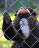 Scimmia in gabbia Immagini Stock Libere da Diritti