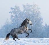 Alzar el caballo andaluz en campo de nieve Foto de archivo
