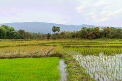 Aménagez avec du jeune riz ce prêt en parc à l'élevage Photographie stock