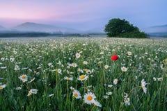 Aménagez en parc, aube de matin sur un champ de camomille dans les montagnes Photographie stock