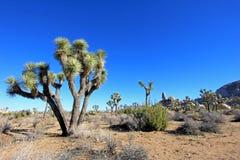Aménagez en parc avec des arbres de Joshua, Joshua Tree National Park, Etats-Unis Image libre de droits